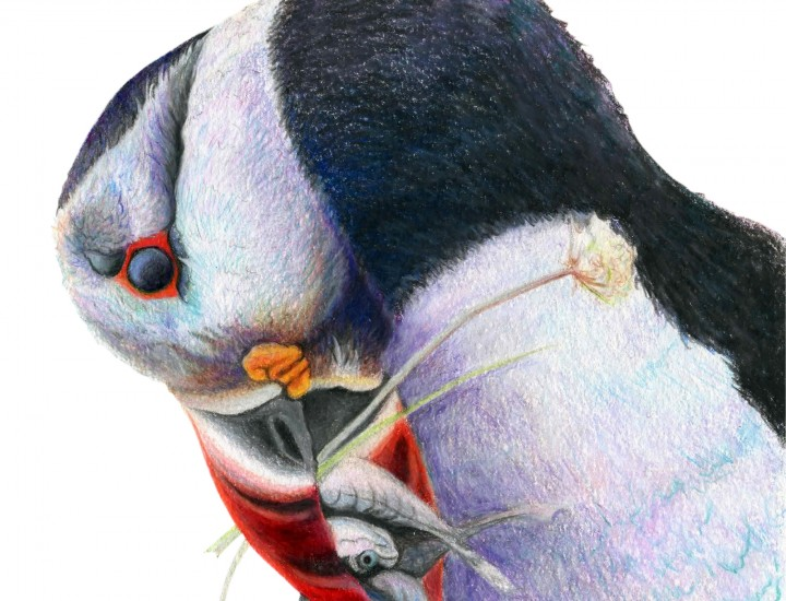 """Gone Fishin"", Atlantic Puffin Original Prismacolor Artwork by Allison Richter"