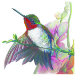 """Branch Out"", Ruby Throat Hummingbird Original Prismacolor Artwork by Allison Richter"