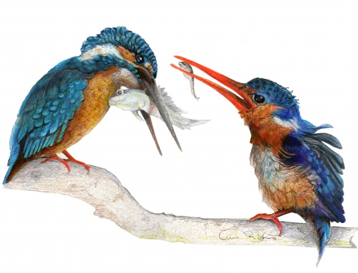 """It Sill Counts"", Kingfishers Original Prismacolor Artwork by Allison Richter"
