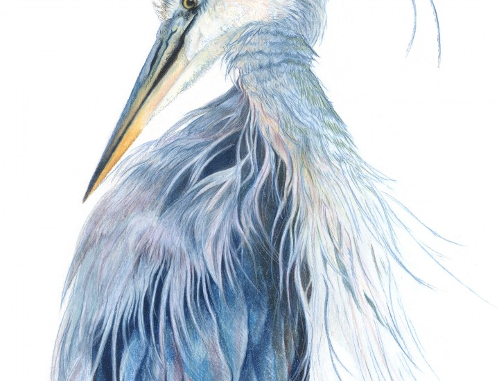 """Presumed Melancholy"", Blue Heron Original Prismacolor Artwork by Allison Richter"