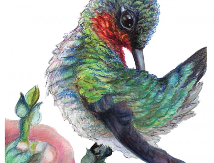 """The Right Spot"", Ruby Throat Hummingbird Original Prismacolor Artwork by Allison Richter"