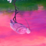 """Pinapple Cake"" - Roseate Spoonbill reflecting - an oil painting original artwork by professional artist Allison Richter"