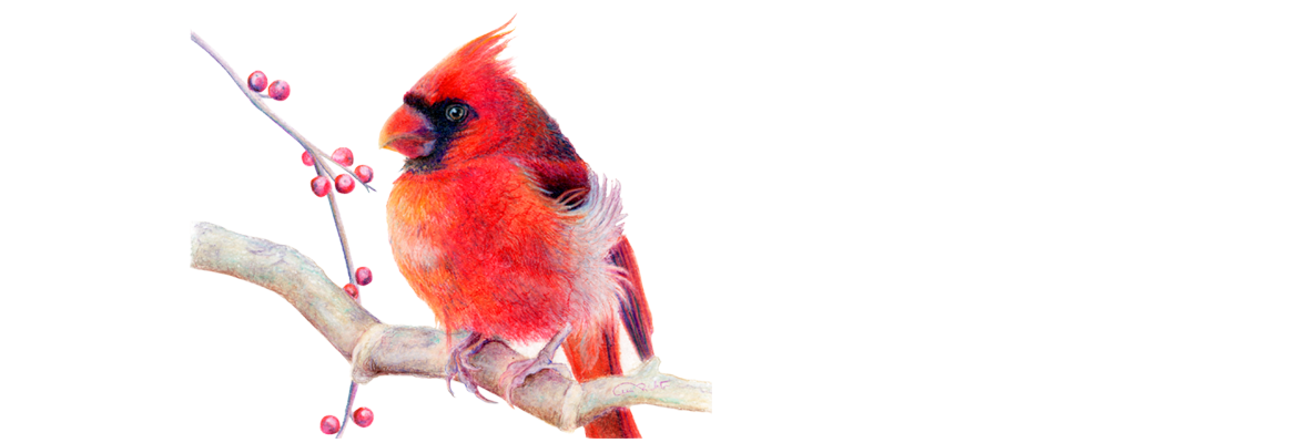 Northern Cardinal Artwork by Allison Richter Wildlife Artist