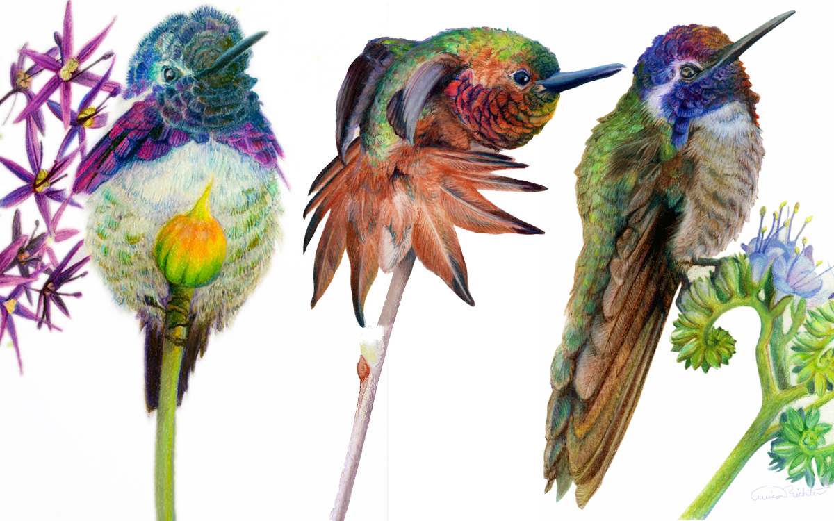 Hummingbird Artwork by Allison Richter