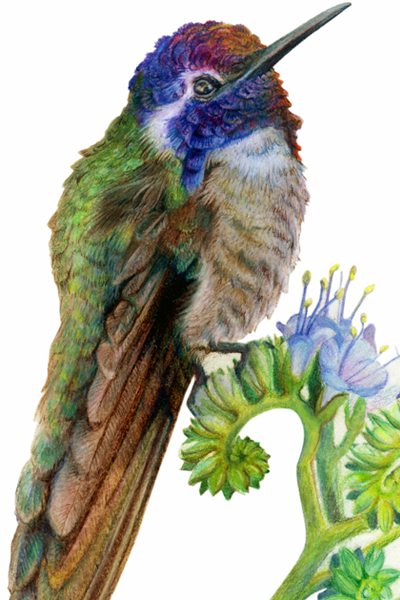 Coasta's Hummingbird Artwork by Allison Richter